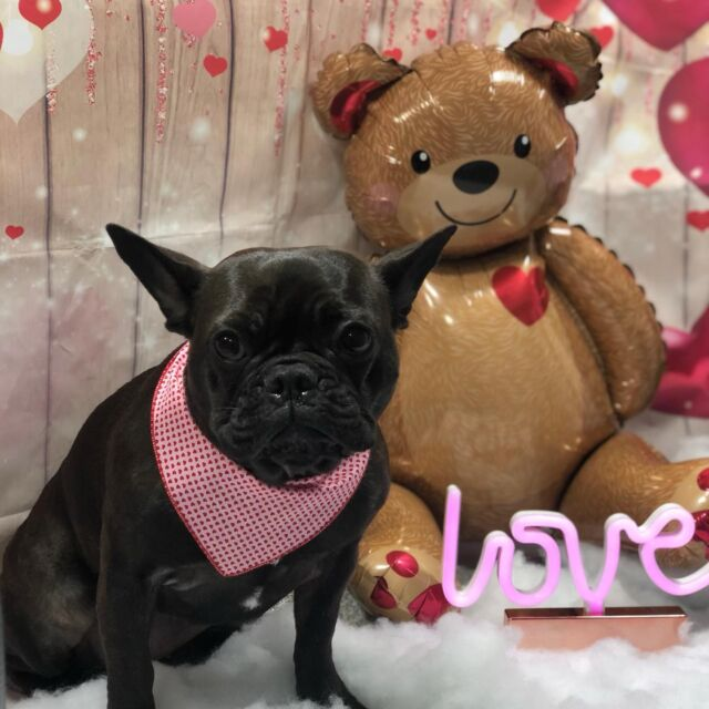 Oh là là!  Rosie, the French Bulldog, is filled with LOVE and ready for Valentine's Day!