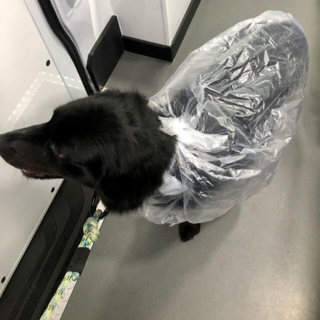 When it's raining cats and dogs, Finn sports a tried and true doggie bag look to help him stay dry for the return to his front door.